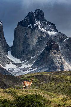 Torres del Paine - Guanako von Stefan Schäfer