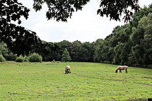 Belgische Paarden in de wei van