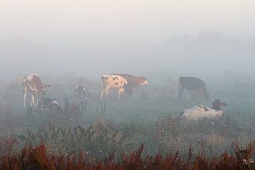Koeien in mist van