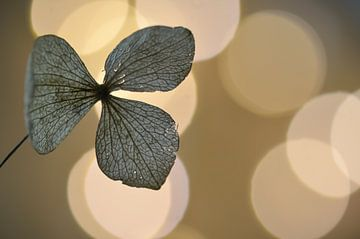 Hydrangea van zwergl 0611