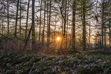 zonnester tussen de bomen van Tania Perneel