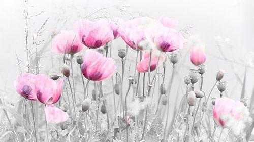 Roze klaproos in de wilde natuur