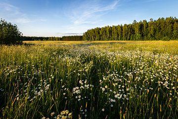 Blick über die Blumenwiese in Bialowieza, Polen von OCEANVOLTA
