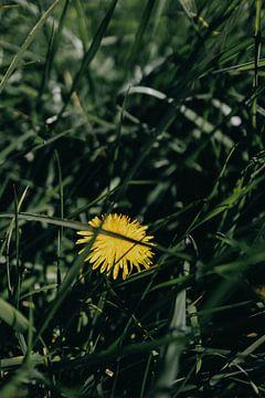 Pissenlit dans l'herbe