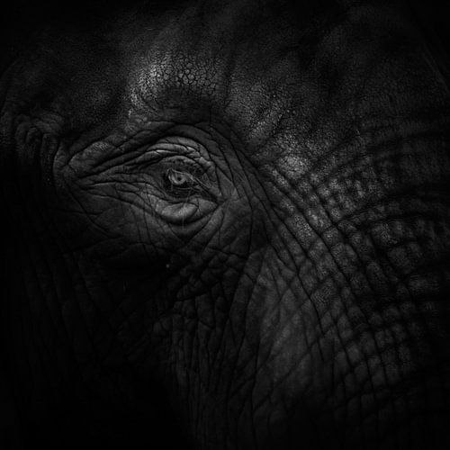 Old eye elephant