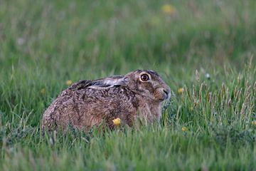 Haas, haas ( Lepus europaeus ) die 's morgens vroeg met zijn oren in een lenteweide ligt te rusten,  van wunderbare Erde