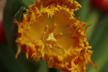 Moderne Tulpe von Pim van der Horst