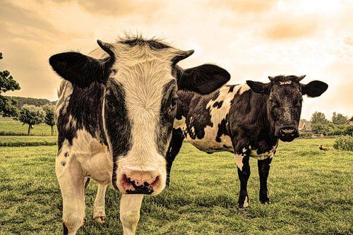 Koeien in Weiland Oud
