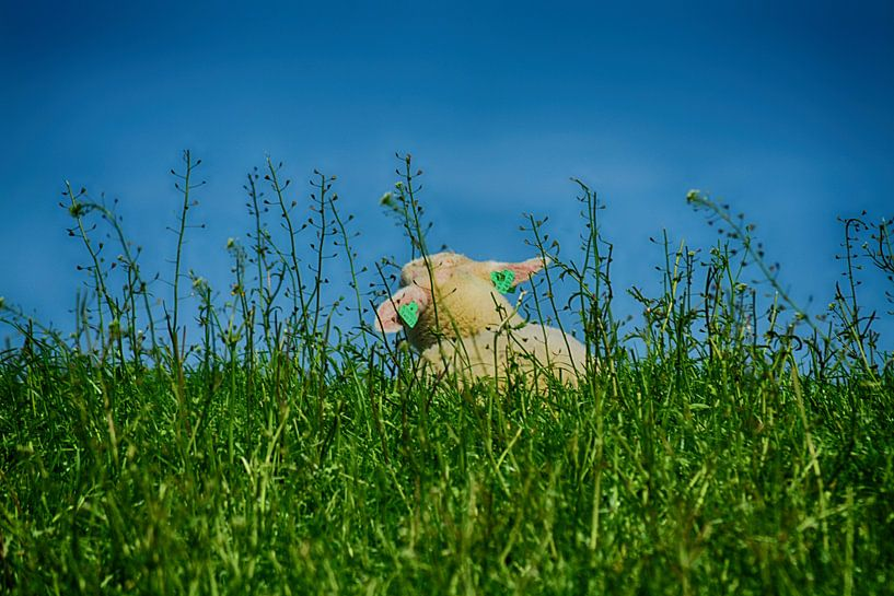 Lentegevoel (Lammetje) van FotoGraaG Hanneke