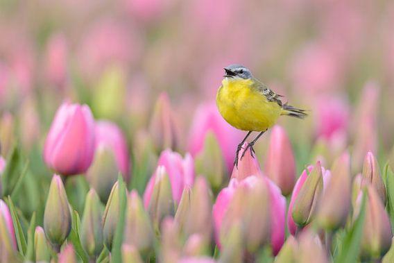 Gele Kwikstaart in een tulpenveld