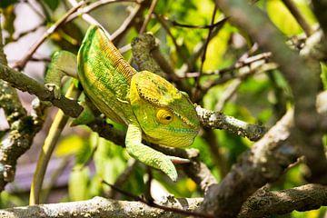 Camouflage reuzenkameleon von Dennis van de Water