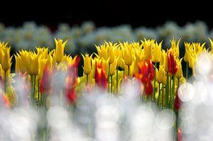 Tulpen met druppels van een waterfontein op de voorgrond