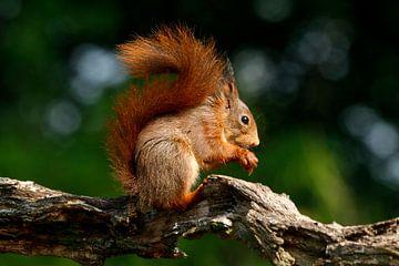 Eichhörnchen frisst ein paar Leckereien. von Anouk de Vries