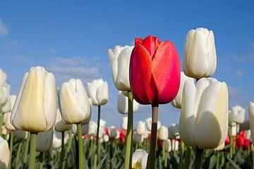 Rode tulp tussen witte tulpen van