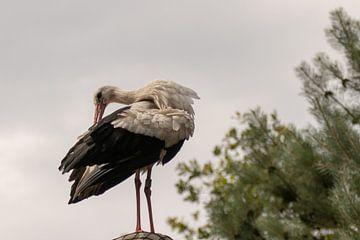 Polierender Storch von Anjella Buckens