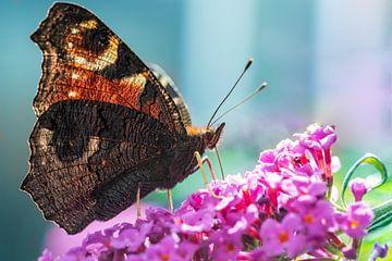Schöner Schmetterling (Tagpfauenauge) auf einem Schmetterlingsstrauch. von GiPanini