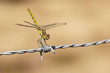 Libelle op prikkeldraad van Roosmarijn Bruijns