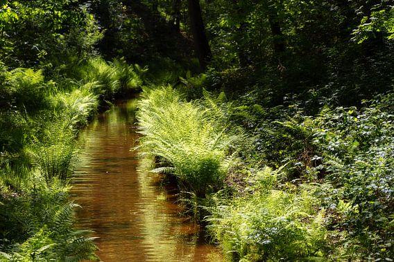 Bos riviertje met varens in de zon