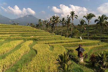 Rijstterrassen op Bali, Indonesië van Peter Schickert