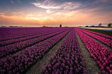Hyacinth fields von Carla Matthee