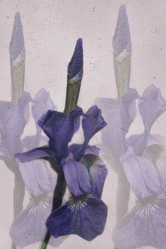Sibirische Iris van Christine Nöhmeier
