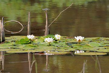 waterlelies van Petra De Jonge