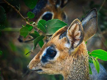 Dickes dickes Paar, eine kleine Antilope in der Serengeti, Tansania von Machiel Zwarts
