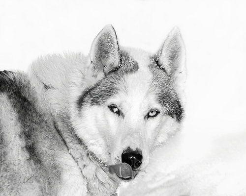 Husky in de sneeuw likt z'n snuit, Finland