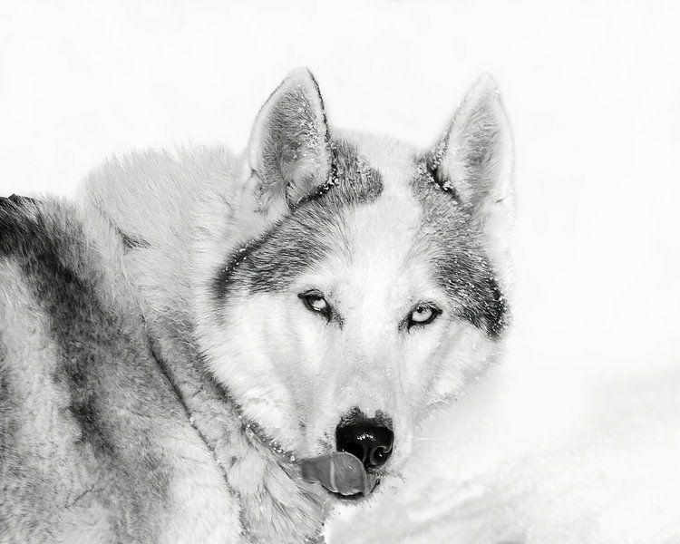 Husky in de sneeuw likt z'n snuit, Finland van Rietje Bulthuis
