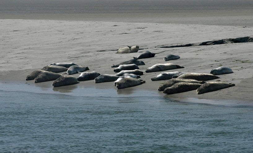 Waddenzee Zeehonden. van Brian Morgan