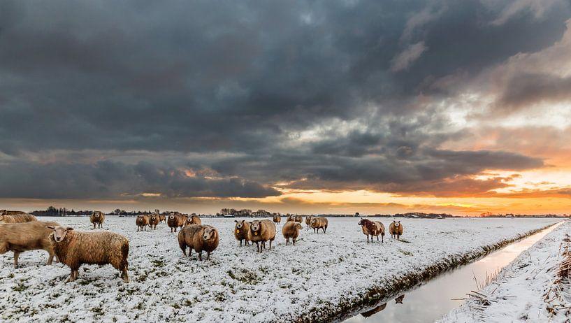 Schapen, sneeuw, wolken en een opkomende zon (laag standpunt) van Remco Bosshard
