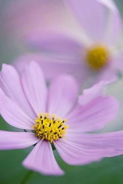 Eine Nahaufnahme von zwei schönen Cosmea-Blüten von Veronika Seliverstova