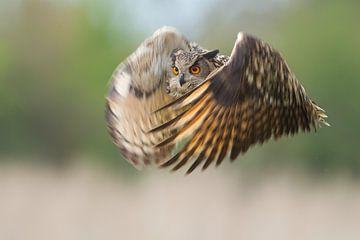 Uhu im Flug von Jeroen Stel