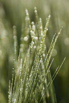 Dauwdruppels / waterdruppels in het gras 2 van