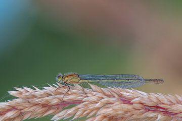 Details einer Libelle, Makro von Sven Scraeyen