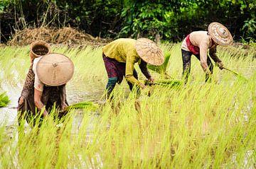 Rijst planten in de bergen bij Hsipaw, Myanmar van Sven Wildschut