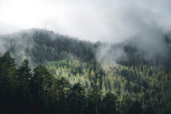 Licht schijnt op mistig dennenbos in het zwarte woud