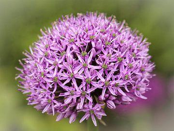 Allium von Rob Boon