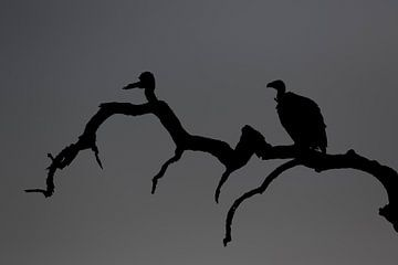 Geier Silhouetee von Angelika Stern