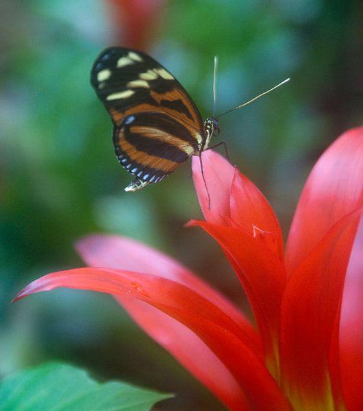 vlinder van Beer Foto