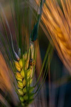 Marienkäfer auf dem Mais im weichen Abendlicht von Kim Willems