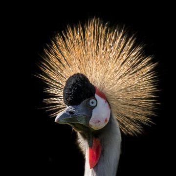 Kroonkraanvogel, Balearica regulorum van Gert Hilbink