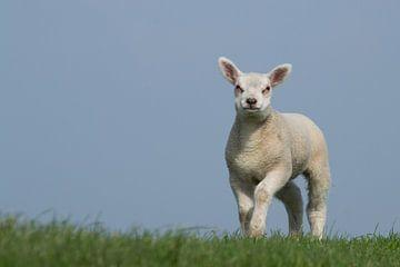 Staand lam op de dijk, lente in Frieslad von Tim Groeneveld