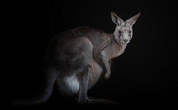 Känguru, KaMerA  von 1x