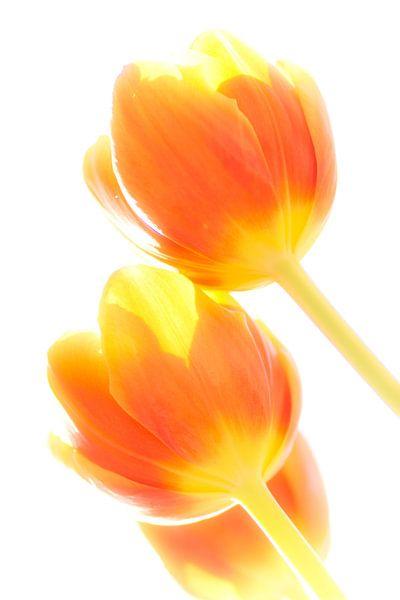 Tulp in tegenlicht 5 van Greetje van Son