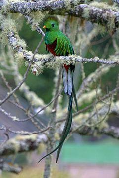 Quetzal sur