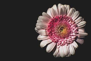 """""""Blume im Dunkeln"""" von Emina Ahmetovic"""