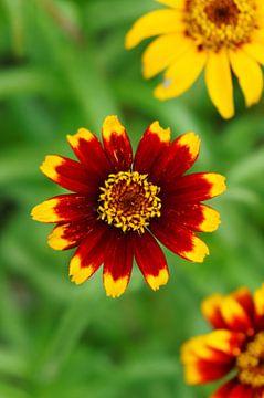 Blumen von Sigrid Olschinski