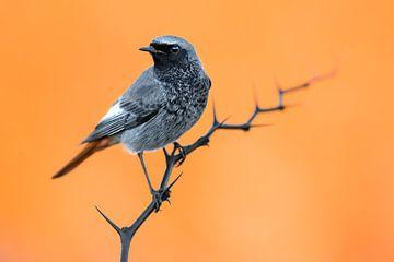 Black Redstart (Phoenicurus ochruros gibraltariensis) von AGAMI Photo Agency