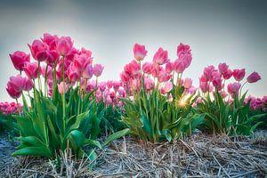 Zonsondergang tussen de tulpen van